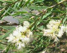 Цветочная вода - Чайное дерево